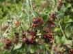 Apfelbeere Brilliant Pflanze