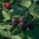 Brombeere Loch Ness, stachellos Rubus fructicosa