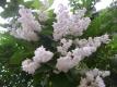 Schneeglöckchenbaum Pflanze