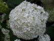 Schneeballhortensie Annabelle Pflanze