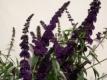 SOMMERFLIEDER Black Knight Pflanze