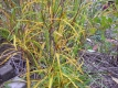 Farnblättriger Säulenfaulbaum Fine Line(R)Pflanze