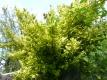 Kletterspindelstrauch Stämmchen Pflanze