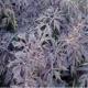 Geschlitztblöttriger Holunder Black Lace (R)Pflanze