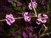 Liebesperlenstrauch Pflanze