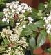 Mittelmeerschneeball Eva Price Viburnum tinus Pflanze