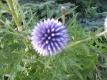 Ruthenische Kugeldistel Echinops ritro Pflanze