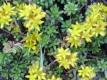 Goldfetthenne Weihenstephaner Gold Pflanze