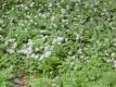 Bärlauch Allium ursinum Pflanze