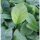 Sauerampfer Belleville Rumex acetosa Pflanze