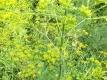 Echte Engelwurz Angelica archangelica Pflanze
