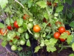 Tomate Humboldtii Solanum lycopersicum Pflanze
