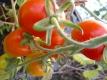 Tomate De Berao rot Pflanze