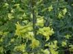 Helgoländer Wildkohl Pflanze