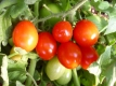 Tomate Süße von der Krim getopfte Pflanze