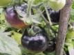 Tomate Bosque Blue blauviolette Färbung Pflanze