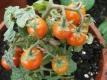 Tomate Zimmertomate ganzjährig Tomaten ernten Pflanze