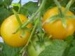 Tomate Goldene Königin getopfte Pflanze