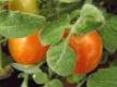 Tomate Fuzzy Wuzzy getopfte Pflanze