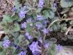 Gundermann Glechoma hederacea Pflanze