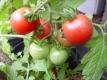 Tomatito de Jalapa Wildtomate, Cocktailtomate