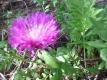 Kaukasische Flockenblume  Centaurea dealbata Pflanze