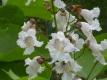 Trompetenbaum Catalpa bignoides