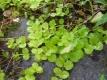 Pfennigkraut Pflanze