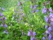 Echter Salbei Pflanze Salvia officinalis Pflanze