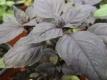 Basilikum rotblättrig  Basilikum ocimum Pflanze