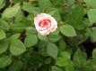 Rosella die essbare Rose Pflanze