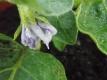 Eierbaum (Solanum melongena) Eierpflanze Pflanze