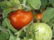 Tomate Fuzzy Wuzzy Samen