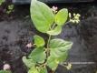 Verjüngungskraut Punarnava Boerhavia diffusa Pflanze