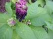 Speisekermesbeere  Phytolacca acinosa Pflanze
