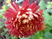 Gartenchrysantheme Enzett Balina Pflanze