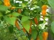 Chili Fatalii Capsicum chinense Samen