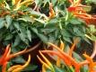 Chili Terassenfeuerchili Samen