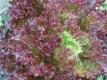 Pflücksalat Lollo Rossa Samen