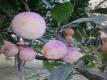 Zuckermirabelle aus Rumänien Samen