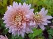 Gartenchrysantheme Hazel Zwager Pflanze