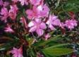 Oleander (Nerium oleander)Samen