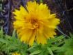 Großblütiges Mädchenauge Early Sunrise halbgefüllt Samen