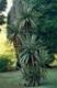 Keulenlilie  Cordyline australis Samen