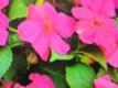 Fleissiges Lieschen Rosaria Samen