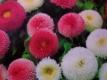 Gänseblümchen Pomponette Mischung Samen