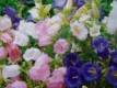 Marienglockenblume Prachtmischung Samen