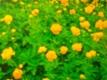 Trollblume Goldkönigin Samen