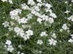 Hornkraut Cerastium tomentosum Pflanze