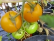 Tomate Goldene Königin Samen